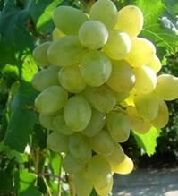Виноград столовый Подарок Запорожью<br>Виноград столовий Подарунок Запоріжжю<br>Vitis vinifera Podarok Zaporozhye