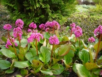 Бадан сердцелистный Винтерглют<br>Бадан серцелистий Вінтерглют<br>Bergenia cordifolia Winterglut
