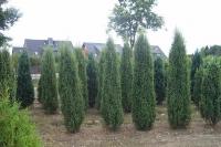 Можжевельник обыкновенный Хиберника <br>Ялівець звичайний Хіберніка <br>Juniperus communis Hibernica