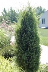 Можжевельник обыкновенный колоновидный <br>Ялівець звичайний колоновидний <br>Juniperus communis columnar