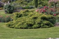 Можжевельник средний / пфицериана Олд Голд <br>Ялівець середній / пфітцеріана Олд Голд <br>Juniperus media / pfitzeriana Old Gold