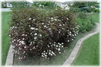 Пузыреплодник Калинолистный 'Диабле д'Ор' <br> Physocarpus Opulifolius 'Diable d'Or' (R)
