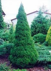 Ель канадская 'Коника' Picea glauca 'Conica'