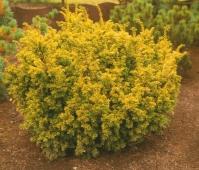 Тис ягодный 'Семперауреа' <br>Taxus baccata 'Semperaurea'
