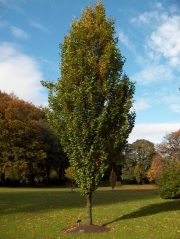 Бук лесной <br>Fagus sylvatica<br>Бук лісовий