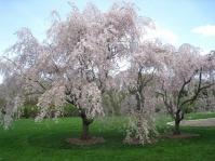 Вишня подшёрстная Пендула (плакучая) <br>Prunus subhirtella Pendula