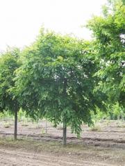 Граб обыкновенный Пендула (плакучий) <br> Граб звичайний Пендула (плакучий) <br>Carpinus betulus Pendula