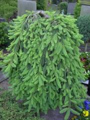 Ель обыкновенная плакучая Инверса (перевернутая) <br> Ялина звичайна плакуча Інверса (перевернута) <br>Picea abies Inversa