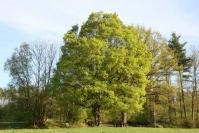 Клён полевой <br>Клен польовий<br>Acer campestre