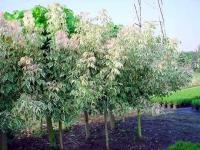 Клён ясенелистый американский 'Фламинго' <br>Клен ясенелистий 'Фламінго'<br>Acer negundo 'Flamingo'