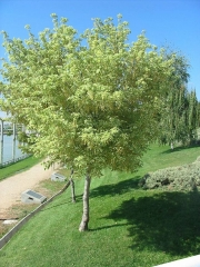 Клен ясенелистный (американский) 'Вариегатум' <br>Клен ясенелистий (американський) 'Варієгатум'<br>Acer negundo 'Variegatum'