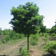Лжеакация (робиния) извилистая 'Тортуоза' <br>Псевдоакация (робінія) звилиста 'Тортуоза'<br>Robinia pseudoacacia 'Tortuosa'