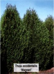 Туя западная 'Вагнери' <br>Thuja occidentalis 'Wagneri'