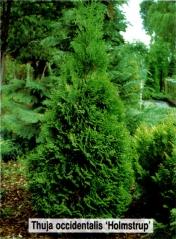Туя западная Холмструп <br>Thuja occidentalis Holmstrup
