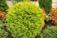 Туя западная Голден Глоуб <br>Туя західна Голден Глоуб<br>Thuja occidentalis Golden Globe