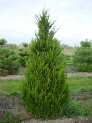 Можжевельник китайский Спартан <br>Juniperus chinensis Spartan <br>Ялівець китайський Спартан
