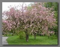 Яблоня декоративная 'Ола' (Райское яблоко) <br>Malus purpurea 'Ola'