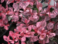 Барбарис Тунберга Пинк Квин <br>Барбарис Тунберга Пінк Квін <br>Berberis thunbergii Pink Queen
