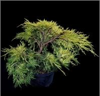 Можжевельник средний 'Голден Сойсер' / 'Голден Саусер' <br>Juniperus media 'Golden Saucer'