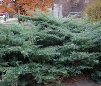 Можжевельник виргинский Хетц <br>Ялівець віргінський Хетц <br>Juniperus virginiana Hetz