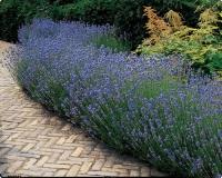 Лаванда узколистная Хидкот <br>Лаванда вузьколиста Хідкот <br>Lavandula angustifolia Hidcote