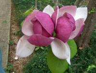 Магнолия суланжа Леннеи <br>Магнолія суланжа Леннеі <br>Magnolia soulangeana Lennei