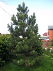 Сосна черная / австрийская <br>Сосна чорна / австрійська <br> Pinus nigra / austriaca