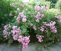 Роза полиантовая 'Фейри' <br>Rosa polyantha 'The Fairy'<br>Роза поліантова 'Фейрі'