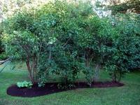 Сирень обыкновенная Чарльз Джоли<br>Бузок звичайний Чарльз Джолі <br>Syringa vulgaris Charles Joly