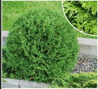 Туя западная Тини Тим <br>Туя західна Тіні тім<br>Thuja occidentalis Tiny Tim