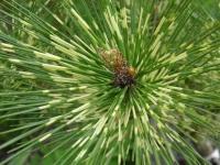 Сосна густоцветная 'Окулус-драконис' ('Око дракона') <br>Pinus densiflora 'Oculus-draconis'