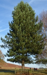 Сосна черная / австрийская Пирамидалис<br>Сосна чорна / австрійська Пірамідаліс<br>Pinus nigra Pyramidalis