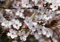 Слива растопыренная Писсарди <br>Слива розчепірена Піссарді <br>Prunus cerasifera Pissardii