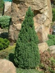 Ель канадская Лаурин <br>Ялина канадська Лаурін <br>Picea glauca Laurin