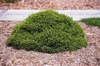 Ель обыкновенная / европейская Литл Джем <br>Ялина звичайна / європейська Літл Джем <br>Picea abies Little Gem