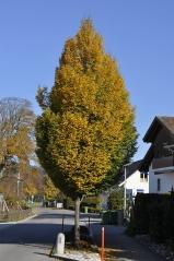 Граб обыкновенный Фастигиата <br>Carpinus betulus Fastigiata