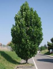 Тюльпанное дерево Fastigiatum <br>Liriodendron tulipifera Fastigiatum