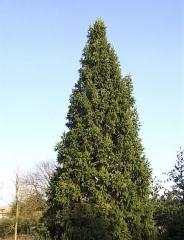 Ель обыкновенная / европейская Купрессина <br> Ялина звичайна / європейська Купрессіна<br>Picea abies Cupressina
