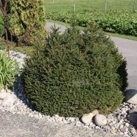 Ель обыкновенная / европейская Олендорфи <br>Ялина звичайна / європейська Олендорфі <br>Picea abies Ohlendorffii