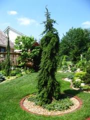 Ель сербская Пендула<br>Ялина сербська Пендула<br>Picea omorika Pendula