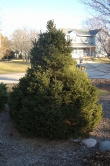 Сосна Веймутова Фастигиата <br>Pinus strobus Fastigiata