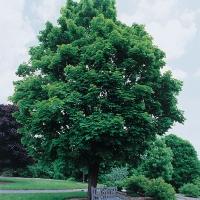 Клён остролистный <br>Клен гостролистий <br>Acer platanoides