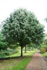 Рябина круглолистная<br>Sorbus aria <br>Горбина круглолиста