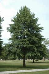 Дуб болотный <br>Quercus palustris<br>Дуб болотний