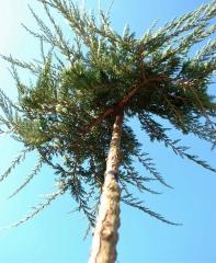 Можжевельник горизонтальный 'Вилтони' привитой на штамбе <br>Ялівець горизонтальний 'Вілтоні' прищеплений на штамбі<br>Juniperus horizontalis 'Wiltonii'