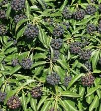 Плющ обыкновенный Арборесценс <br>Hedera helix Arborescens<br>Плющ звичайний Арборесценс