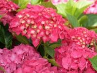 Гортензия крупнолистная Сибилла / Мася <br>Гортензія крупнолиста Сібілла / Мася <br>Hydrangea macrophylla Sibilla / Masja