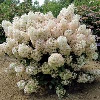 Гортензия метельчатая Бобо ® <br>Гортензія метельчата Бобо ® <br>Hydrangea paniculata Bobo ®