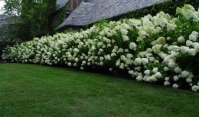 Гортензия метельчатая Грандифлора <br>Hydrangea paniculata Grandiflora<br>Гортензія метельчата Грандіфлора