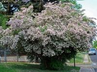 Кольквиция прелестная Пинк Клоуд <br>Кольквіція чарівна Пінк Клоуд <br>Kolkwitzia amabilis Pink Cloud
